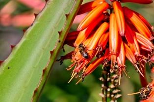 Aloe plant flowers