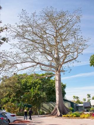 African Kapok tree