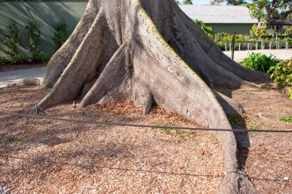 Kapok's tree amazing roots