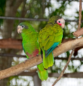 Parrot on the left is from the Dominican, the right is Cuban. International relations at its best!