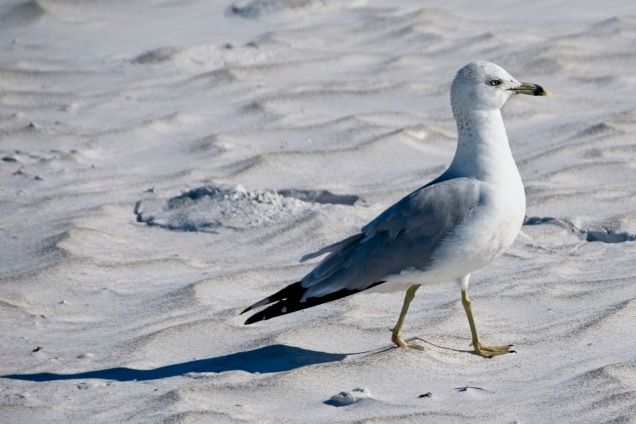 sarasota19-beach bird