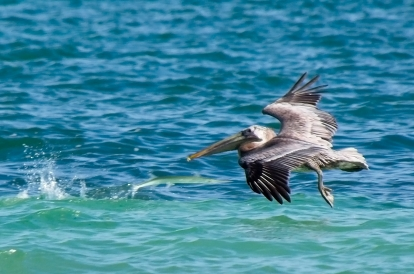 Note the pelican's meal in the water...