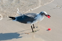 Who knew seagulls enjoyed watermelon? Thief of the surf...