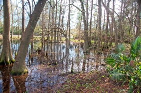 Across the road from the main gardens, there are some fine examples of cypress bogs.