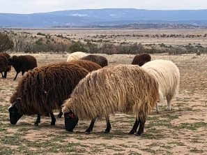 Churro sheep grazing on the Ghost Ranch property